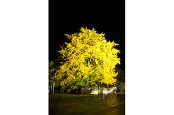 五泉市にある「黄金の里」のイチョウをライトアップ!