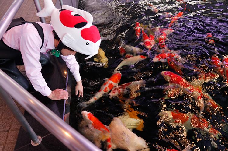 餌を蒔くと、ばしゃばしゃばしゃーってものすごい勢いで錦鯉が寄ってきます。