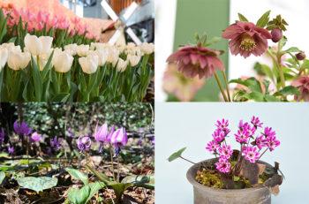 越後の花々を愛でる早春のフラワーリレー開幕!