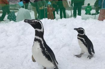 かわいいペンギンたちが遊びにやってくるよ!
