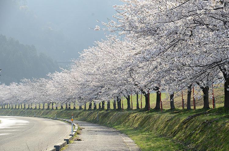 【詳しい情報はクリック】高瀬の桜並木