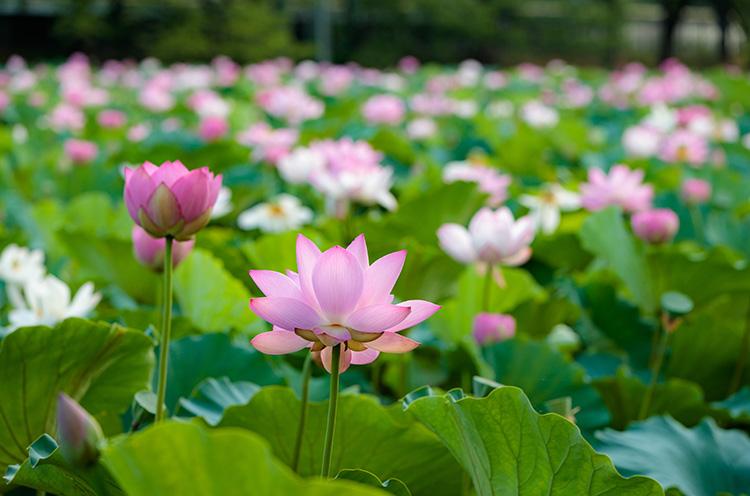 初夏のお堀にはハスに花がびっしり。見に行こ