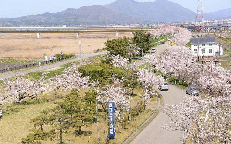 【詳しい情報はクリック】大河津分水桜並木