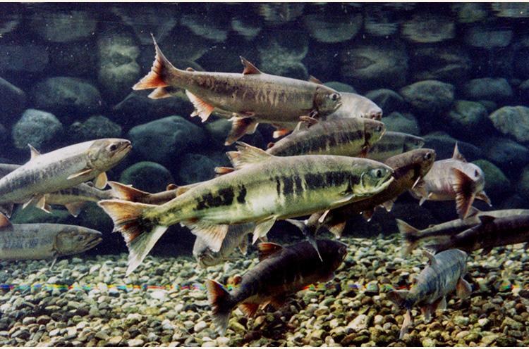 生態観察室では鮭の生態をガラス越しに観察できます