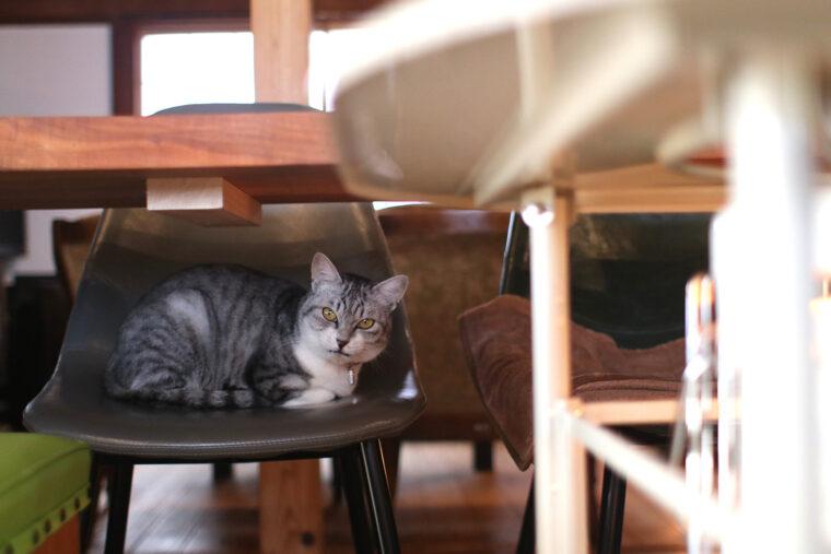 2代目看板猫のネル。名前はお店自慢のネルドリップコーヒーから。スト―ブそばのカウンター席がお気に入り