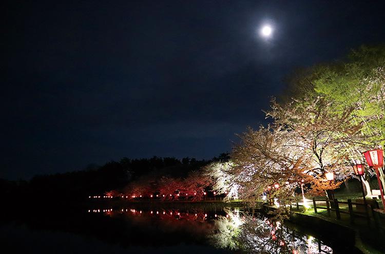 聖籠町】桜の開花に合わせて、弁天潟をライトアップ - 日刊にいがたweb ...