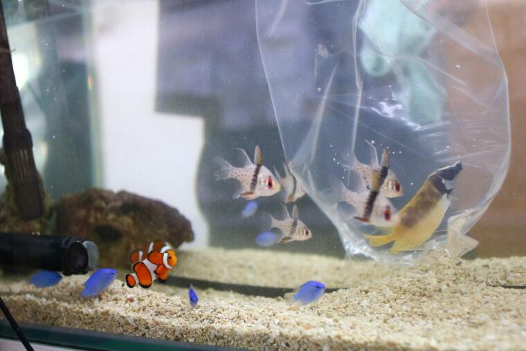 水温を確認しながら熱帯魚たちを水槽に移動!