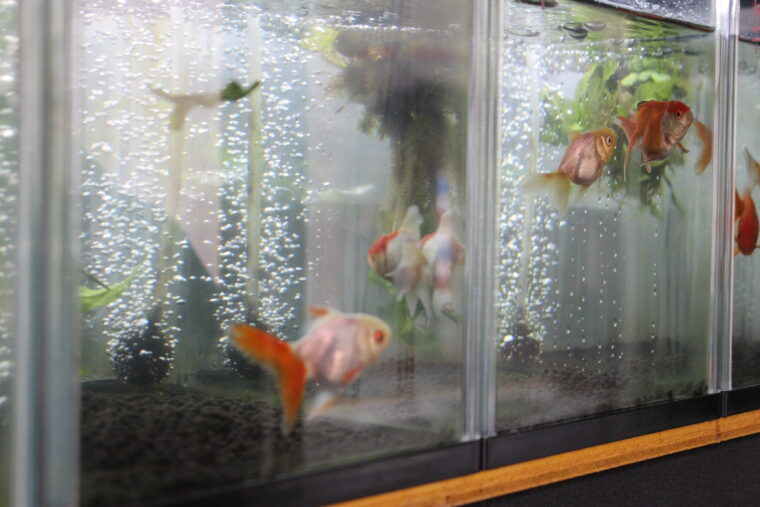 金魚も販売されています