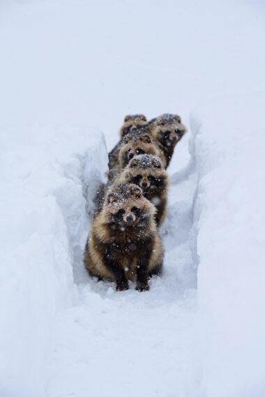 『狸の引越し』佐藤圭第37回日本の自然写真コンテスト優秀賞