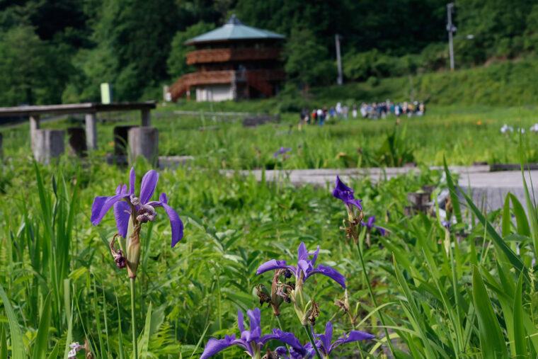 6月~8月にかけて咲く、ヒオウギアヤメ